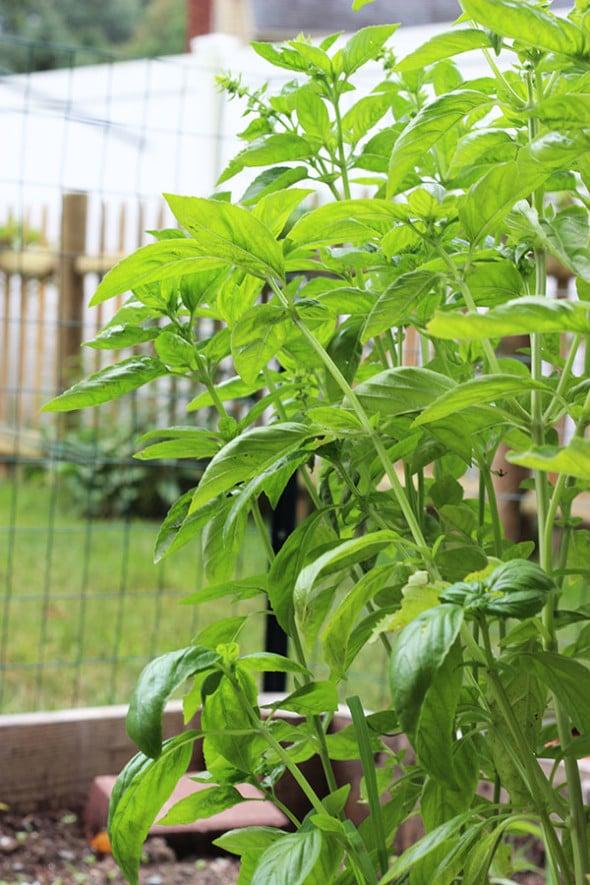 Garden Fresh Basil Pesto (and Pesto Bombs for the winter...)