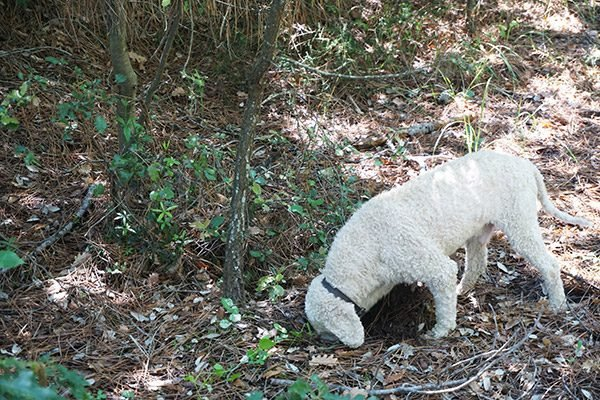 Truffle hunting in Italy!